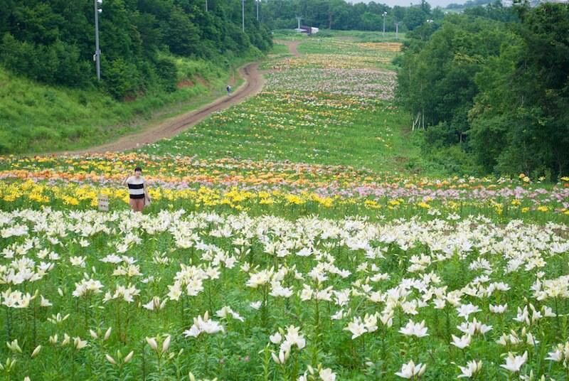 春香山のユリ