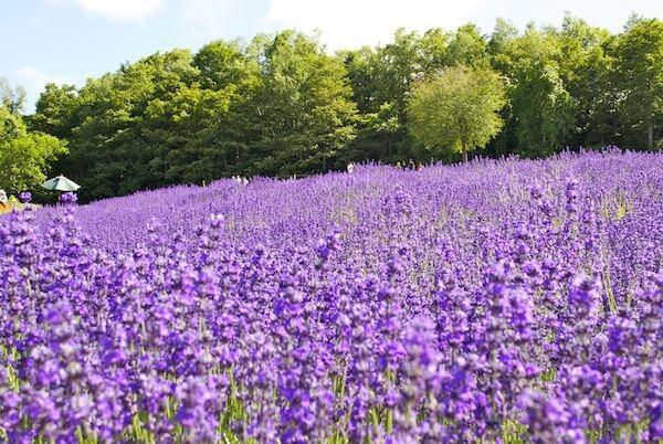 大通公園の綺麗で美しい花畑